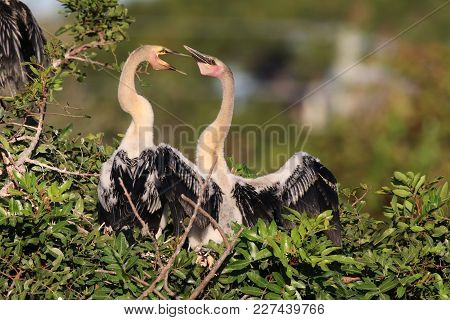 Two Anhinga Chicks In The Nest At A Rookery In Venice, Florida