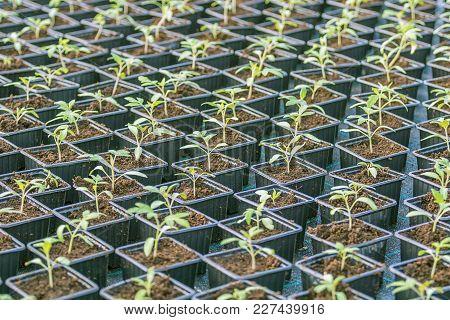 Rows Of Potted Seedlings In Greenhouse Seedlings Nursery.