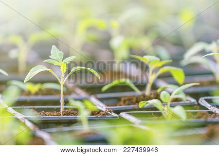 Tomato Seedlings In A Greenhouse. Seedlings Nursery.