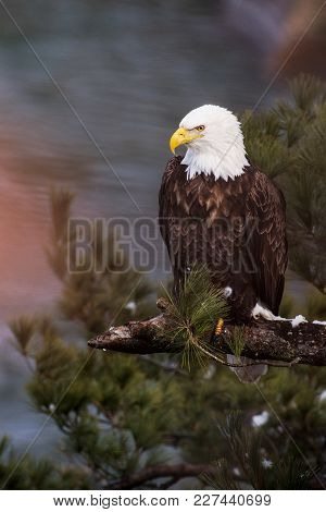 Bald Eagle At Starved Rock State Park, Illinois, Usa