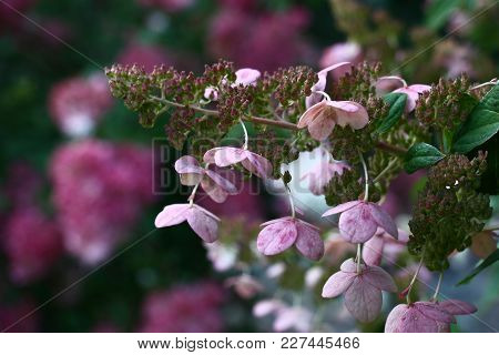 Against A Blossoming Bush An Inflorescence Of A Hydrangea With Rare Flowers In Violet Tones.
