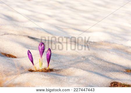 Alone crocus flower in snow on spring meadow closeup