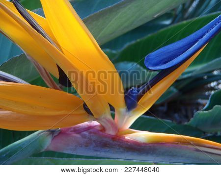 Close Up Of A Bird Of Paradise Flower