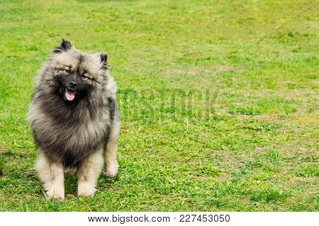 Young Dog German Spitz On A Leash