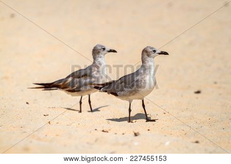 Seagulls on the beach of Caribbean Sea, Mexico