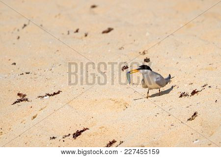 The gull billed tern bird on the beach of Caribbean sea, Mexico