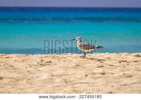 Seagull on the beach of Caribbean Sea, Mexico