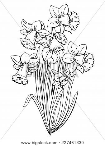 Narcissus Flower Graphic Black White Isolated Bouquet Sketch Illustration Vector