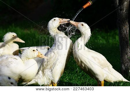 Photo Of Geese Washable Under Running Water.