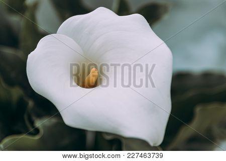 Close Up Of Zantedeschia Aethiopica, Arum Lily White Flower.