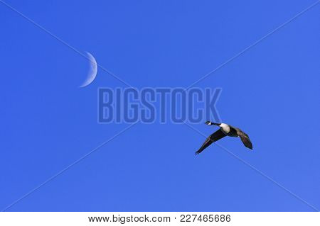 A Single Canada Goose In Migration. Clear Blue Sky In April. Moon.