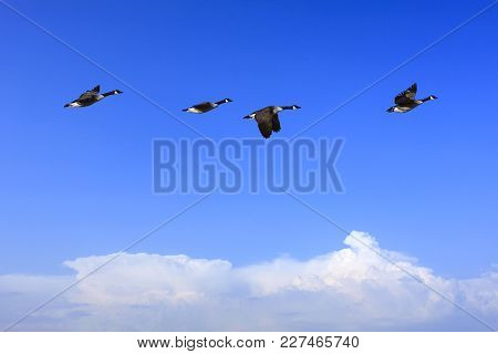 A Group Of Canada Geese In Migration. Clear Blue Sky In April. Clouds At The Horizon.