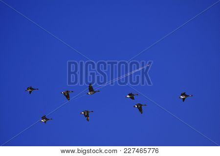 A Group, Flock Of Bean Geese In Migration. Blue Sky In April. Jetliner In The Background.