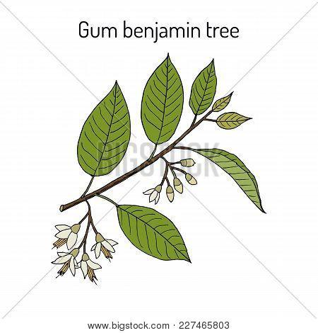 Gum Benjamin Tree Styrax Benzoin , Medicinal Plant. Hand Drawn Botanical Vector Illustration