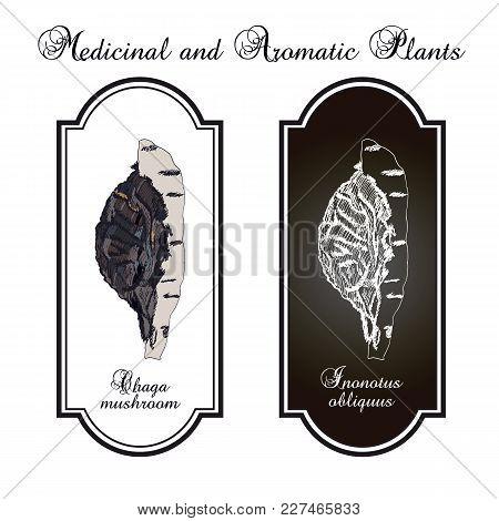 Chaga Inonotus Obliquus , Medicinal Mushroom. Hand Drawn Botanical Vector Illustration