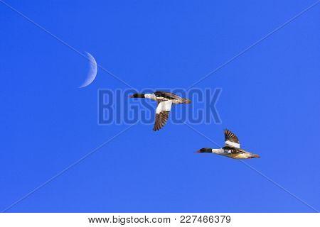 A Couple Of Goo-sanders, Merganser In The Air. Blue Sky, Moon.