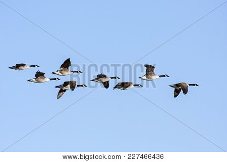 A Group Of Canada Geese In Migration. Clear Blue Sky In April.