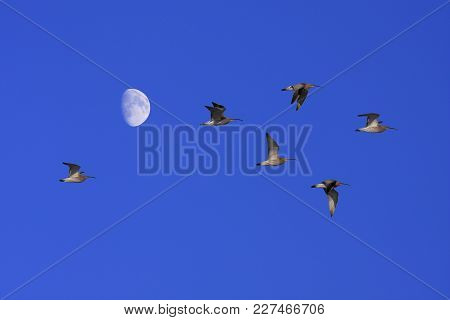 A Group Of Eurasian Curlew In The Sky. Migrate In Early Spring. Moon.