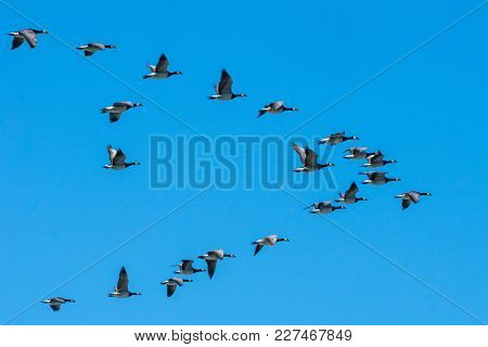 Group Of Canadian Geese Flying South In A Nice Plow Formation On A Clear Autumn Day With Blue Sky An