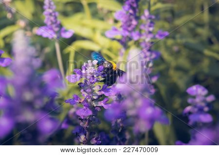 Carpenter Bee Are Flying To Beautiful Flowers In Nature