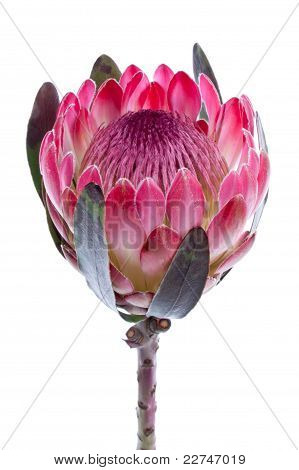 Purple Protea, Isolated On White