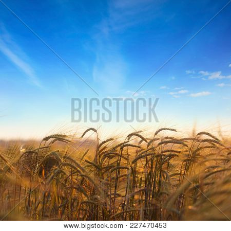 Wheat field.Ears of golden wheat field with blue sky in background