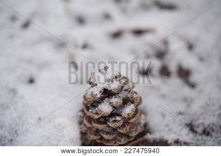 Cone In Winter Lying On The Ground With Focused Details Of Snow And The Cone, On Snowy Defocused Bac