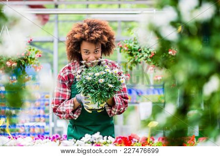 Dedicated Latin American woman wearing gardening apron and gloves while holding a potted plant during work as florist in a modern store