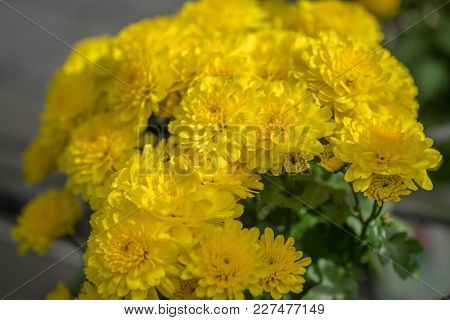A Macro Shot Of The Yellow Chrysanthemums Or Mums Or Chrysanths Flowers