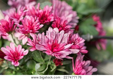 A Macro Shot Of The Pink Chrysanthemums Or Mums Or Chrysanths Flowers