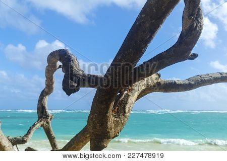 Punta Cana Beach And Tree Trunk. Nature Of The Islands Of The Caribbean Sea.