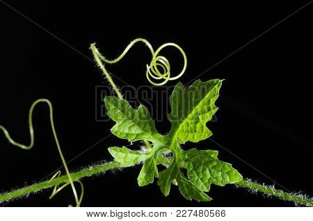 Vine Leaf And Growing Curve Close-up, Isolated With Black Background