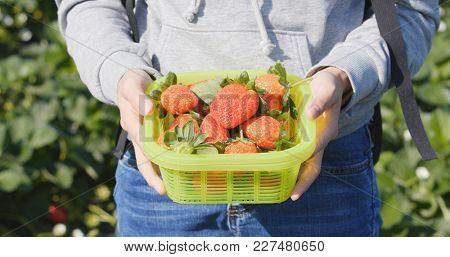 Strawberry harvest in field