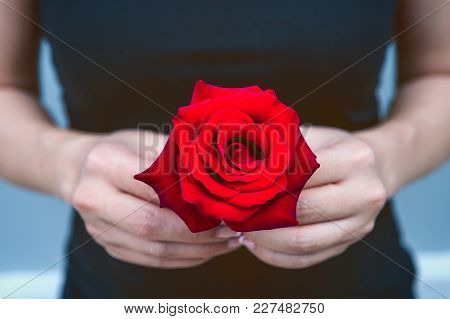 Hand Of Woman Give A Red Rose. Valentine's Day.