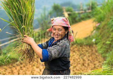 Mu Cang Chai, Vietnam - Sep 17, 2016: Portrait Of Minority Hmong Woman Harvests Rice On Terraced Pad