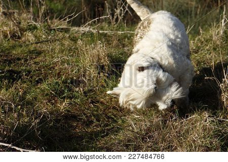 West Highland Terrier Having Fun Rolling Its Head In Animal Excrement In Field In The Countryside.