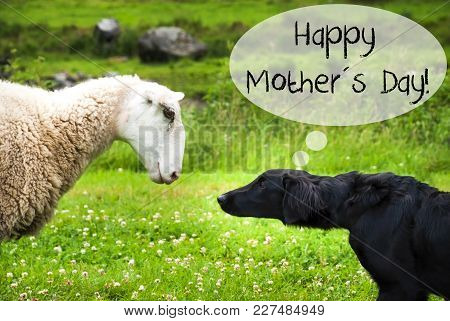 Dog Meets Sheep With Speech Balloon. English Text Happy Mothers Day. Green Grass Meadow In Norway.