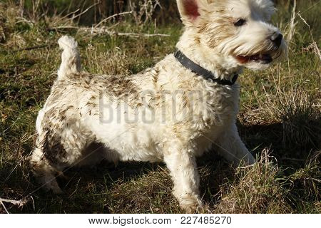 West Highland Terrier Covered In Muck After Having Fun Rolling In Animal Excrement In Field In The C
