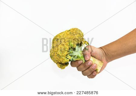 Old Broccoli In Man Hand Isolated On White Background, Yellow Broccoli, Old Yellow And Green Broccol