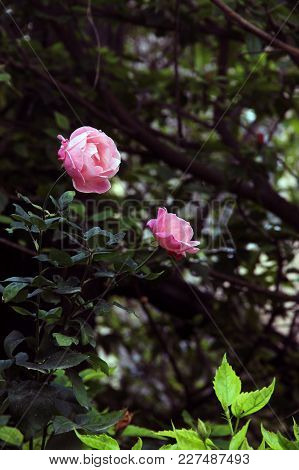 Two Fragile Beautiful Pink Roses On The Blurred Background