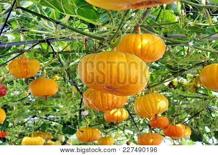 Bright Yellow Cheese Pumpkins Grow On Vines