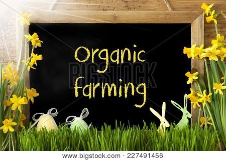 Blackboard With English Text Organic Farming. Sunny Spring Flowers Nacissus Or Daffodil With Grass,