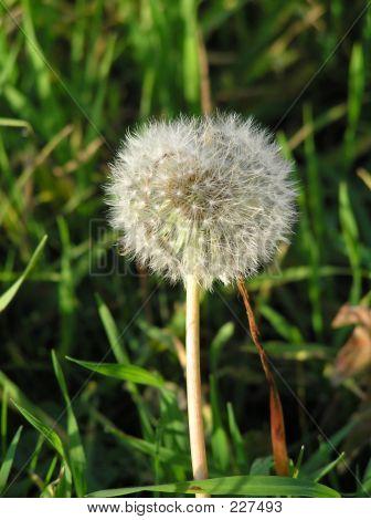 Fluffy Dandelion Head