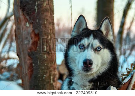 Beautiful Husky Dog Looking At Camera. Blue-eyed Black And White Color Siberian Husky In Winter Even