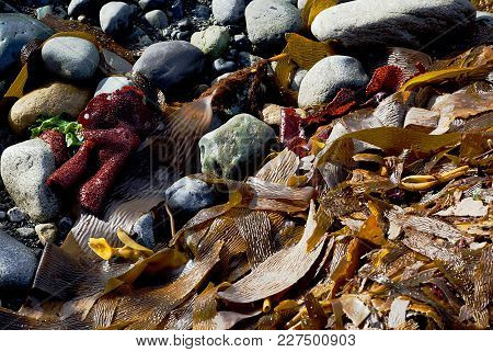 Wet Colorful Marine Algae On Grey And Green Stones At Seashore In Chile