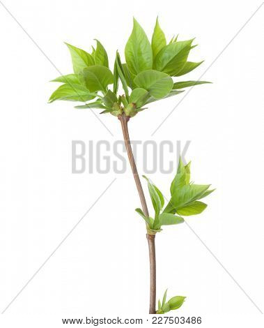 Young branch of lilac (Syringa vulgaris) isolated on white background.