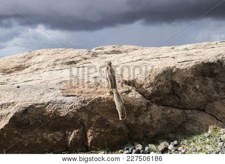 Barbary Ground Squirrel On Rocks On Island Of Fuerteventura Looking Up At Dark Overcast Sky