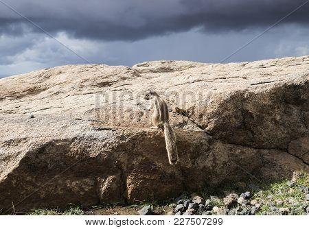 Barbary Ground Squirrel On Rocks On Island Of Fuerteventura