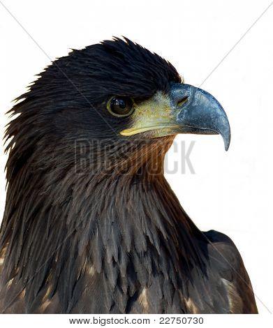 sea-eagle isolated
