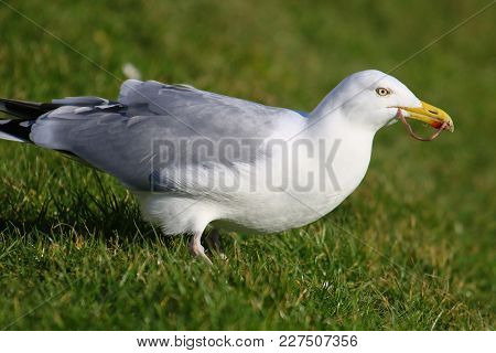 A Herring Gull Crouching In Grass Catching Earthworms In Its Beak